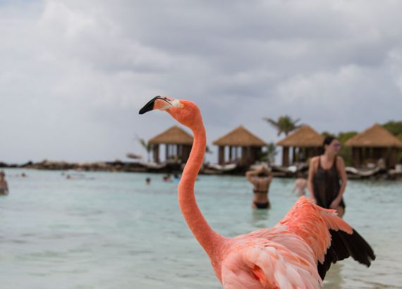 Flamingo at Renaissance Island