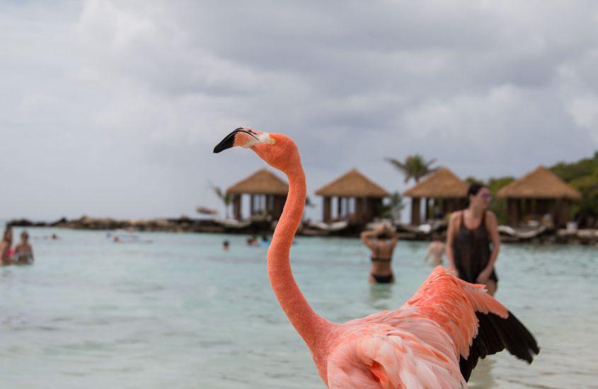 Flamingo at Renaissance Island